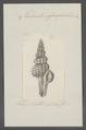 Turbinella infundibulum - - Print - Iconographia Zoologica - Special Collections University of Amsterdam - UBAINV0274 084 04 0028.tif