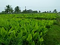 Turmeric farm in Chamarajanagar District IMG20170828084158.jpg