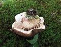 Tylopilus variobrunneus Roody, A.R. Bessette & Bessette 646149.jpg