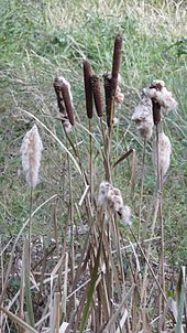 Typha - Chi Typha 170px Typha with without cotton like seeds