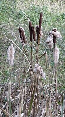Reed (plant) - WikiVisually