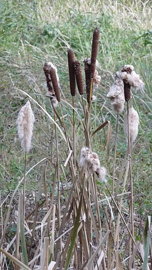 Typha - Image: Typha with without cotton like seeds