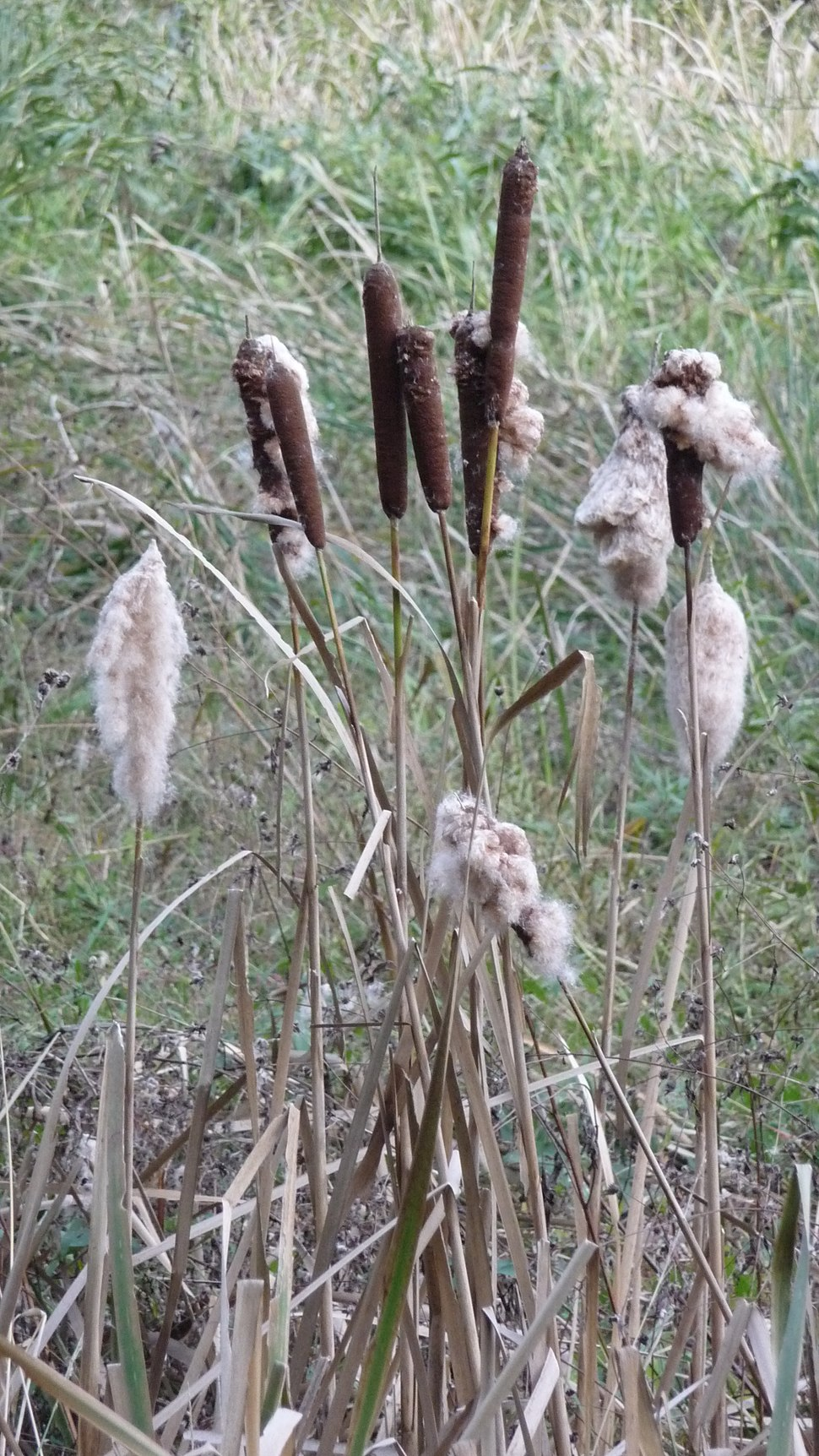 Typha with-without cotton like seeds