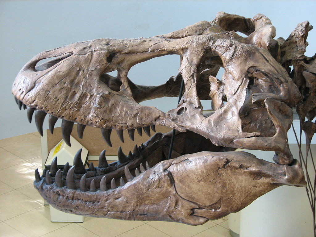 Tyrannosaurus rex skull, at the University of California Museum of Paleontology, University of California, Berkeley.  Image credit: EncycloPetey (CC-BY-SA).