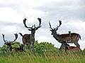 UK, Sussex - Deer at Petworth House.jpg