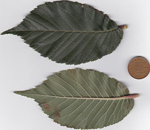 Ulmus changii - Image: Ulmus changii leaf