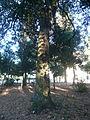 Una alzina als jardins de Can Sentmenat P1510548.jpg
