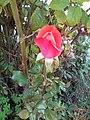 Une belle rose.jpg