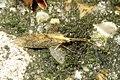 Unid. lacewing (HW) (13989710018).jpg