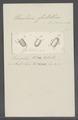 Urceolaria fritillina - - Print - Iconographia Zoologica - Special Collections University of Amsterdam - UBAINV0274 113 21 0007.tif