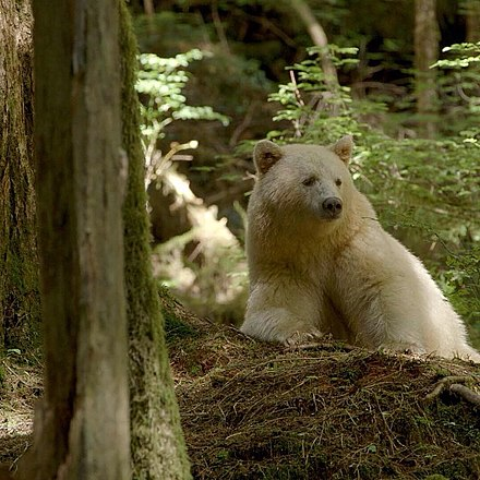 A Kermode bear from the Great Bear Rainforest Ursus americanus kermodei, Great Bear Rainforest 1.jpg