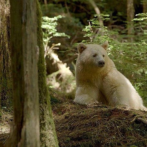 Spirit Bears 480px-Ursus_americanus_kermodei%2C_Great_Bear_Rainforest_1
