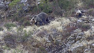 Cantabrian brown bear - Ursus arctos arctos in Muniellos, Asturias, Spain, female with cub