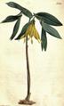 Uvularia grandiflora CBM.png