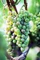 Véraison grappe Pinot gris.jpg