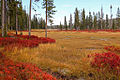 Vaccinium autumn colors, Yellowstone, Lewis River 1.jpg