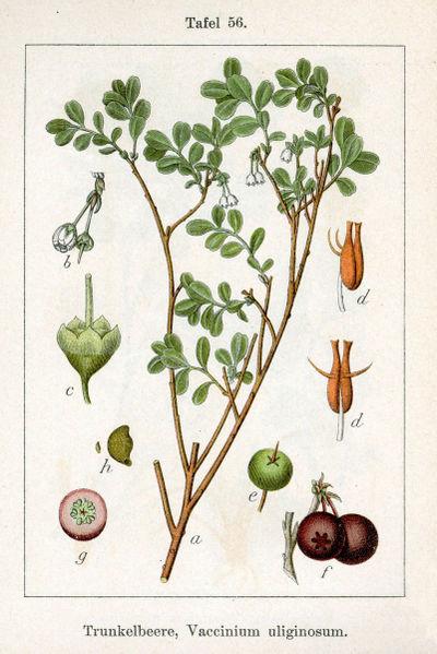 Brusnica barinná (Vaccinium uliginosum)