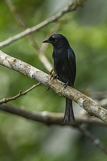 Velvet-mantled Drongo from Canopy Walkway - Kakum NP - Ghana 14 S4E1498.jpg