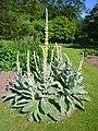 Verbascum densiflorum 'dense-flowered mullein' 2007-06-02 (plant).jpg
