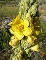 Verbascum thapsus 1.jpg
