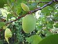 Verdant Apricot close up PNr°0021.jpg