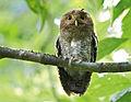 Vermiculated Screech-Owl.jpg