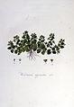 Veronica agrestis — Flora Batava — Volume v6.jpg