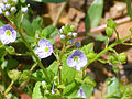 Veronica arvense Flores 2011-5-22 SierraMadrona.jpg