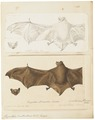 Vespertilio daubentonii - 1700-1880 - Print - Iconographia Zoologica - Special Collections University of Amsterdam - UBA01 IZ20800201.tif