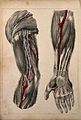 Vessels and muscles of the arm and hand; two figures showing Wellcome V0008157.jpg