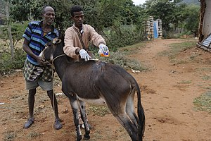Veterinary medicine - A veterinary technician in Ethiopia shows the owner of an ailing donkey how to sanitize the site of infection.