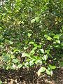 Viburnum japonicum2.jpg