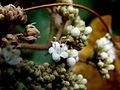 Viburnum rhytidophyllum (10).JPG