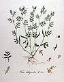 Vicia lathyroides — Flora Batava — Volume v11.jpg