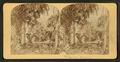View of palm trees, from Robert N. Dennis collection of stereoscopic views.png