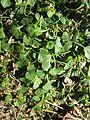 Viola hederacea plant11 - Flickr - Macleay Grass Man.jpg