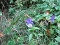 Viola tricolor Bosilegrad.JPG