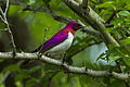 Violet-backed Starling - Mkuze - Natal S4E8871 (22382980057).jpg