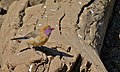Violet-eared Waxbill (Granatina granatina) female (8539741140).jpg