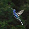 Violet sabrewing (Campylopterus hemileucurus mellitus) male in flight.jpg