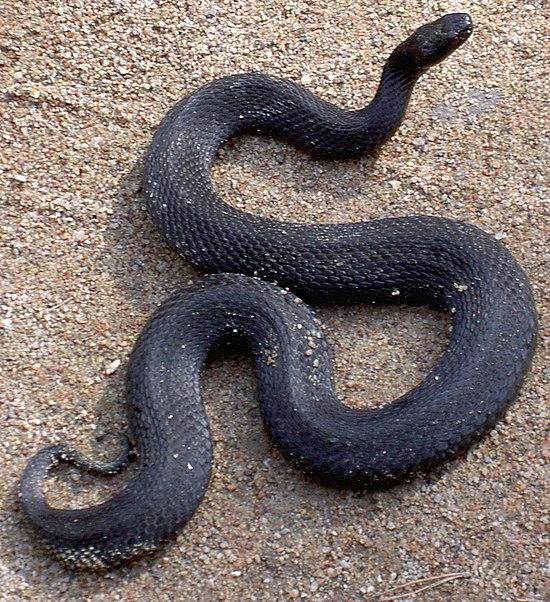 в сонах увидищ чорную змея охране