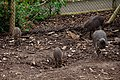 Visayan Warty Pig, Chester Zoo 1.jpg