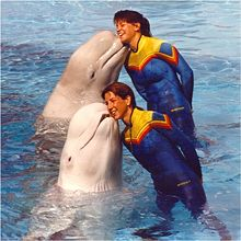 Photo of two white whales cheek-to-cheek with two trainers