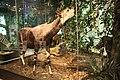 WLA hmns Okapi.jpg