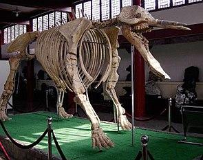 Platybelodon-Skelett