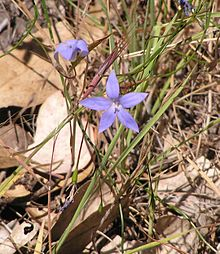 Wahlenbergia Stricta Red Hill.jpg