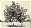 Walnut aphids in California (1914) (14782630972).jpg