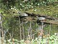 Wapanocca National Wildlife Refuge Crittenden County AR 020.jpg