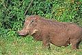 Warthog in Aberdare NP.jpg