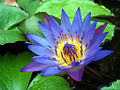 Water Lily Purple.jpg
